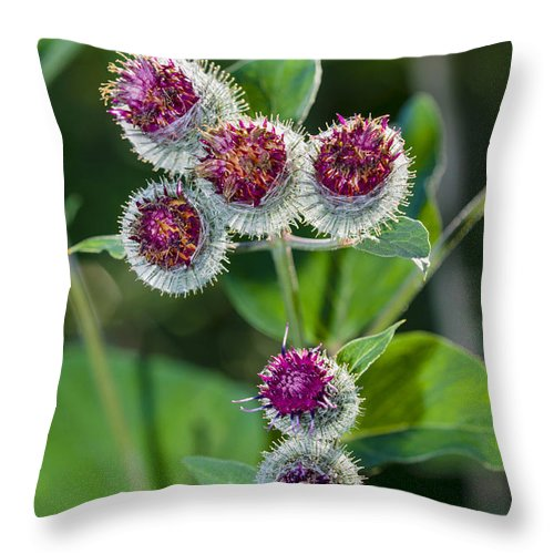 Burdock Throw Pillow featuring the photograph Burdock Flowering Stage by Donald Erickson