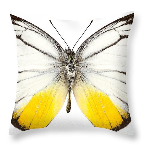 Thailand Throw Pillow featuring the photograph Butterfly Species Cepora Judith by Pablo Romero