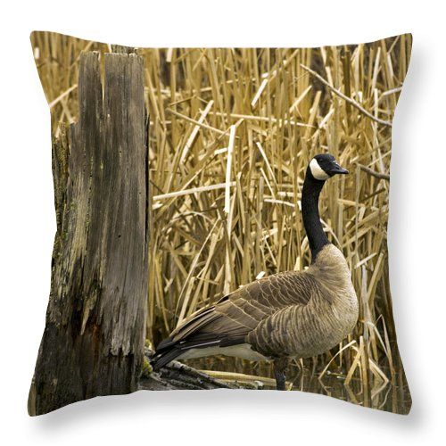 Canada Goose Throw Pillow featuring the photograph Canada Goose by Rob Mclean