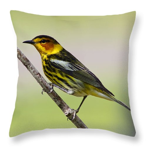 Animal Throw Pillow featuring the photograph Cape May Warbler by Teresa Zieba