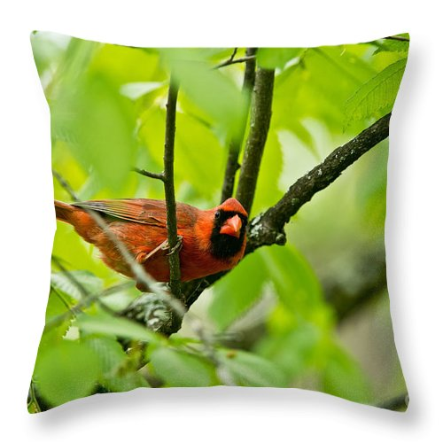 Cardinal Throw Pillow featuring the photograph Cardinal Pictures 138 by World Wildlife Photography