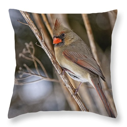 Cardinal Throw Pillow featuring the photograph Cardinal Pictures 50 by World Wildlife Photography