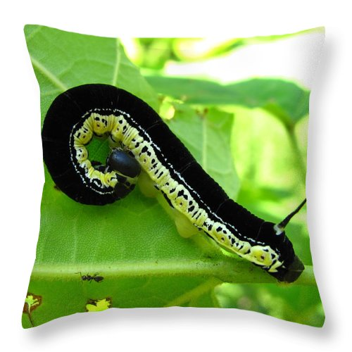 Maryland Catalapa Sphinx Moth Catapillar Images Black And Yellow Catapillar Images Forest Biodiversity Catalapa Tree Caterpillar Nature Old Growth Forest Ecology Entomology Moth Larve Colorful Critter Prints Catalapa Sphinx Moth Catapillar Photograph Prints Throw Pillow featuring the photograph Catalapa Sphinx Caterpillar by Joshua Bales