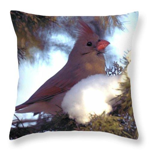 Cardinal Throw Pillow featuring the photograph Cedar Cardinal by Bonfire Photography