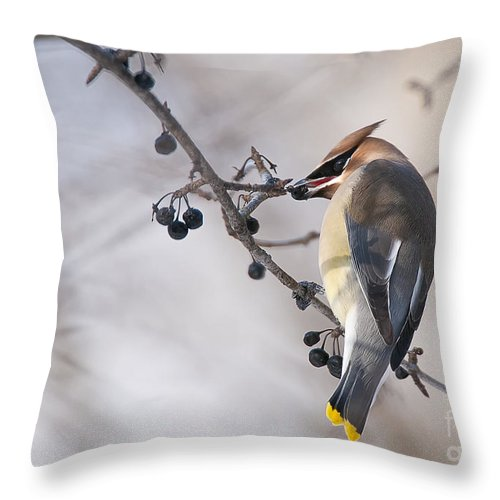 Cedar Waxwing Throw Pillow featuring the photograph Cedar Waxwing Pictures 30 by World Wildlife Photography