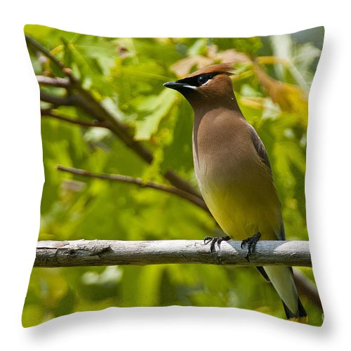 Cedar Waxwing Throw Pillow featuring the photograph Cedar Waxwing Pictures 38 by World Wildlife Photography