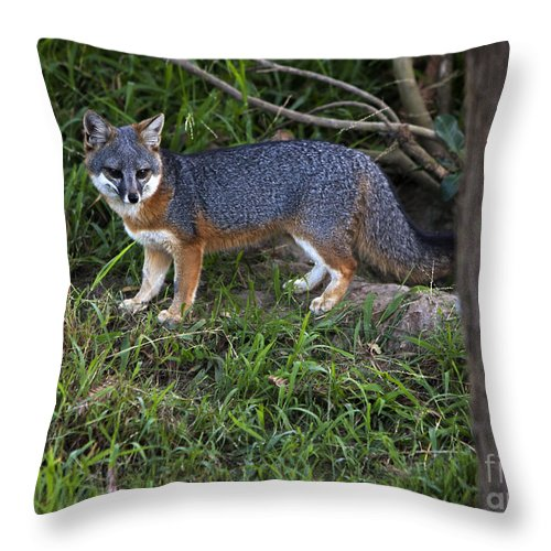 Channel Island Fox Throw Pillow featuring the photograph Channel Island Fox by David Millenheft