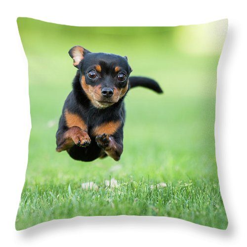 Pets Throw Pillow featuring the photograph Chihuahua Dog Running by Purple Collar Pet Photography