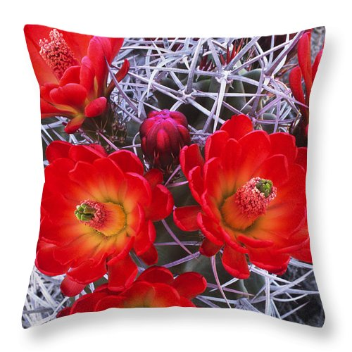 Claretcup Cactus Throw Pillow featuring the photograph Claretcup Cactus In Bloom Wildflowers by Dave Welling