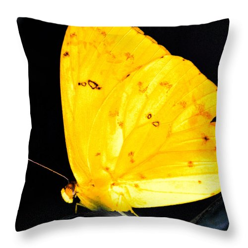 Optical Playground By Mp Ray Throw Pillow featuring the photograph Cloudless Sulphur Butterfly by Optical Playground By MP Ray