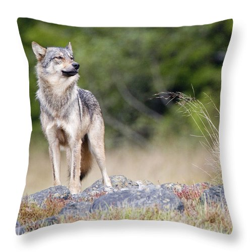 Gray Wolf Throw Pillow featuring the photograph Coastal Wolf by Max Waugh