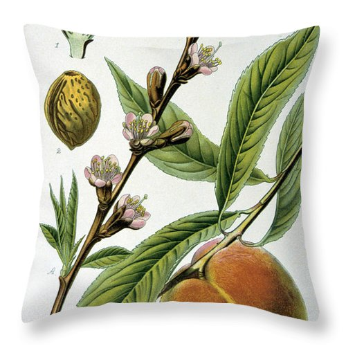 Common Throw Pillow featuring the painting Common Peace Persica Vulgaris by Anonymous