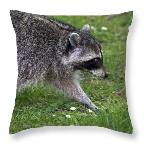 Common Raccoon Throw Pillow featuring the photograph Common Raccoon by Sharon Talson