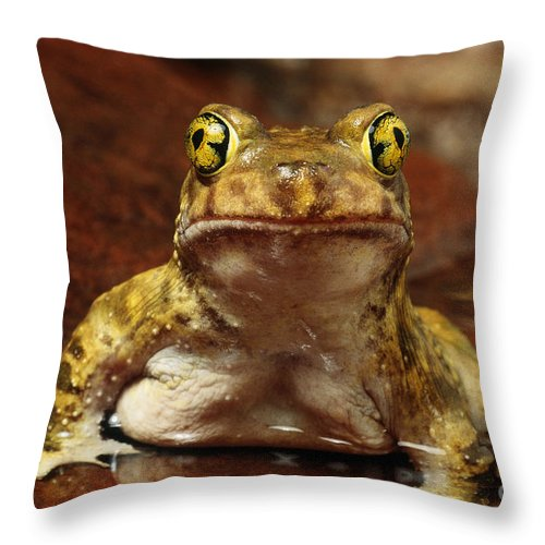 Fauna Throw Pillow featuring the photograph Couchs Spadefoot Toad by C K Lorenz