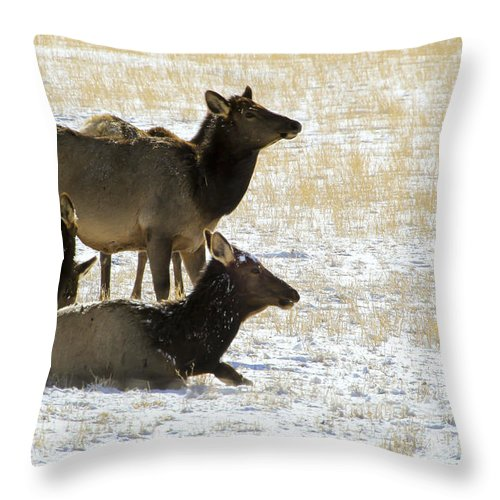Elk Throw Pillow featuring the photograph Cow Elk  #0460 by J L Woody Wooden