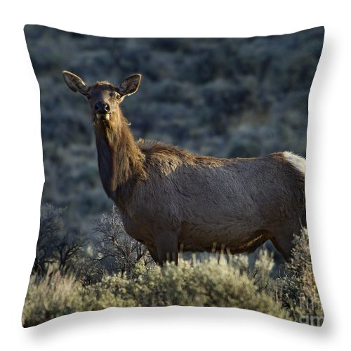 Elk Throw Pillow featuring the photograph Cow Elk  #7533 by J L Woody Wooden