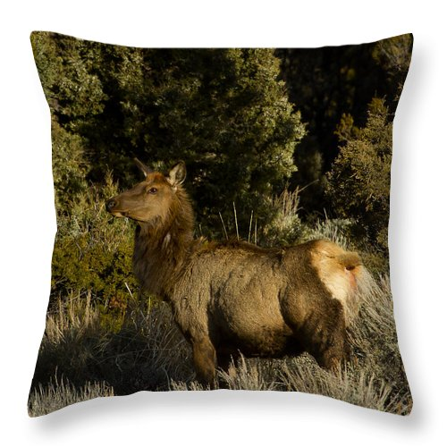 Elk Throw Pillow featuring the photograph Cow Elk  #7582 by J L Woody Wooden
