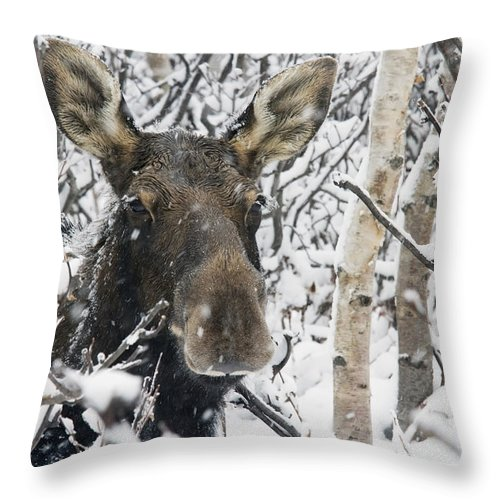 Winter Throw Pillow featuring the photograph Cow Moose Among Snow Covered Trees In by Philippe Henry