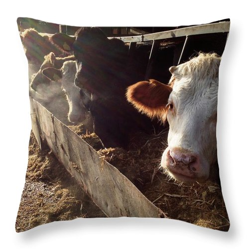 In A Row Throw Pillow featuring the photograph Cows Looking Out Of A Barn by James Ephraums