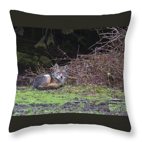 Coyote Throw Pillow featuring the photograph Coyote Curled Up by Sharon Talson