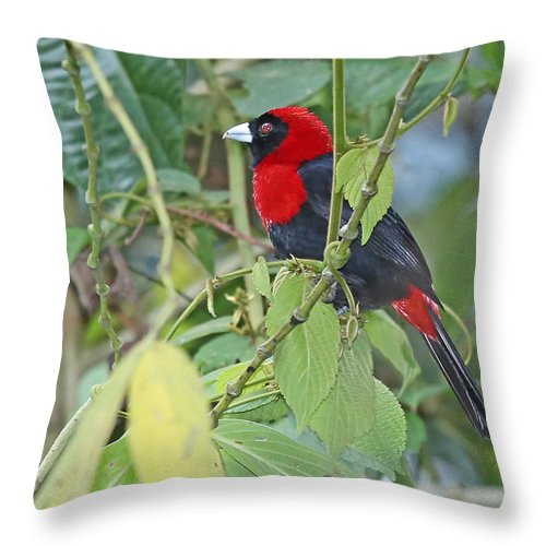 Nature Throw Pillow featuring the photograph Crimson-collared Tanager by Mike Dickie