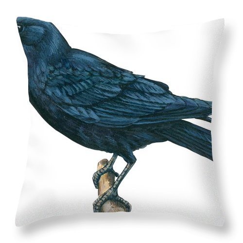 No People; Horizontal; Side View; Full Length; White Background; One Animal; Wildlife; Close Up; Zoology; Illustration And Painting; Bird; Branch; Perching; Beak; Feather; Crow; American Crow; Black Throw Pillow featuring the drawing Crow by Anonymous