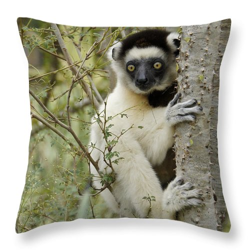 Africa Throw Pillow featuring the photograph Curious Sifaka 1 by Michele Burgess