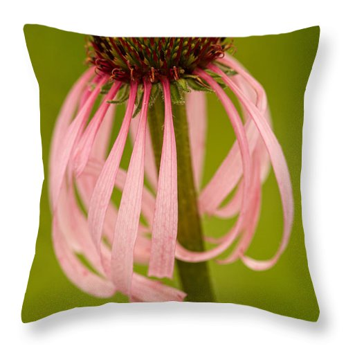 Coneflower Throw Pillow featuring the photograph Curled Petals - Coneflower by Lindley Johnson