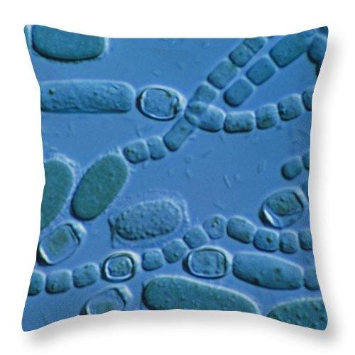 Filamentous Cyanobacteria Throw Pillow featuring the photograph Cylindrospermum Filaments by Biophoto Associates