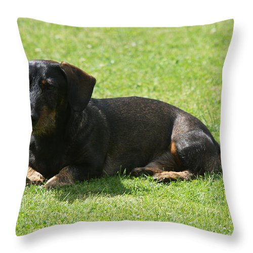 Dog Throw Pillow featuring the photograph Dachshund Wants To Play by Christiane Schulze Art And Photography