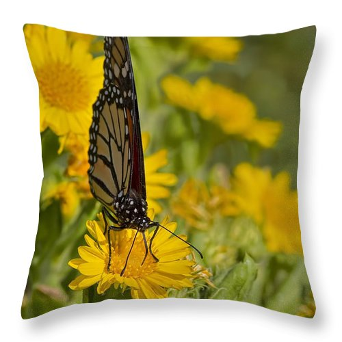 Butterfly Throw Pillow featuring the photograph Daisy Daisy Give Me Your Anther Do by Gary Holmes