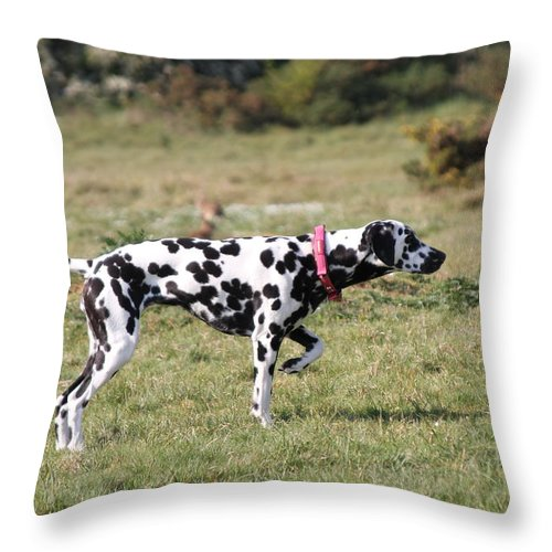 Dalmatian Pretending To Be A Pointer Throw Pillow featuring the photograph Dalmation Pretending To Be A Pointer by Gordon Auld