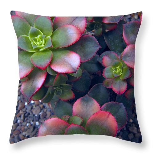 hens And Chicks Throw Pillow featuring the photograph Desert Succulents by Daniel Hagerman