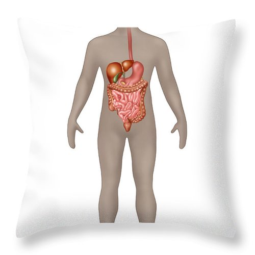 Science Throw Pillow featuring the photograph Digestive System In Male Anatomy by Gwen Shockey