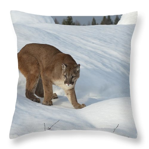 Cougar Throw Pillow featuring the photograph Early Morning Survey by Sandra Bronstein