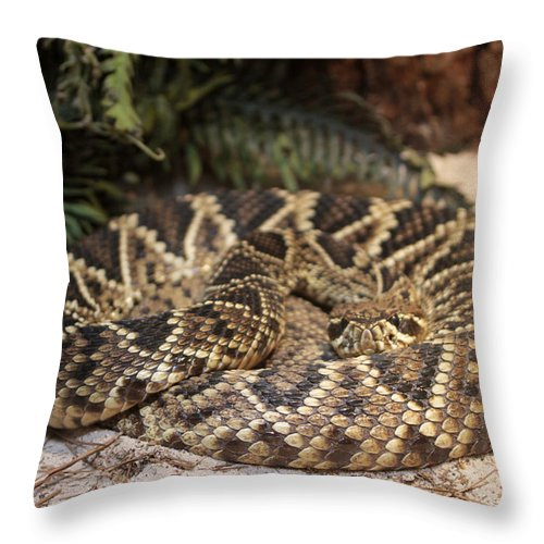 Easter Diamond Back Rattlesnake Throw Pillow featuring the photograph Easter Diamond Back Rattlesnake by Dwight Cook