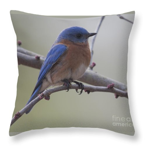 Blue Bird Throw Pillow featuring the photograph Eastern Blue Bird by Dale Powell