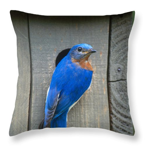 Eastern Bluebird Throw Pillow featuring the photograph Eastern Bluebird At Nest by Paul J Fusco