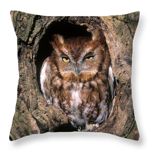 Red Throw Pillow featuring the photograph Eastern Screech Owl - Fs000810 by Daniel Dempster