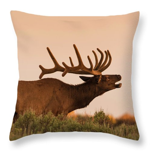 Animal Themes Throw Pillow featuring the photograph Elk In Velvet On Hill In Yellowstone by © J. Bingaman Photography