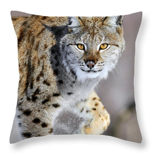 Mp Throw Pillow featuring the photograph Eurasian Lynx Walking by Jasper Doest