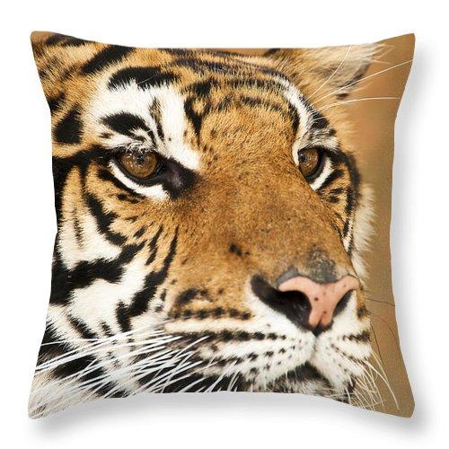 Tiger Throw Pillow featuring the photograph Eye Of The Tiger. by Parawat Isarangura Na Ayudhaya