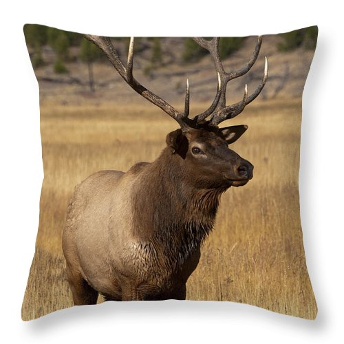 Yellowstone Throw Pillow featuring the photograph Eyeing The Harem by Sandra Bronstein