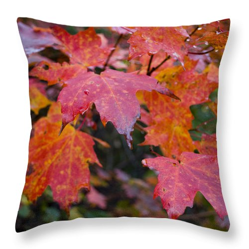Fall Throw Pillow featuring the photograph Fall Maples by Breanna Calkins