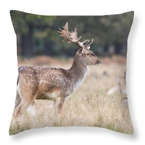 Cervidae Throw Pillow featuring the photograph Fallow Deer Buck On Guard by Jivko Nakev