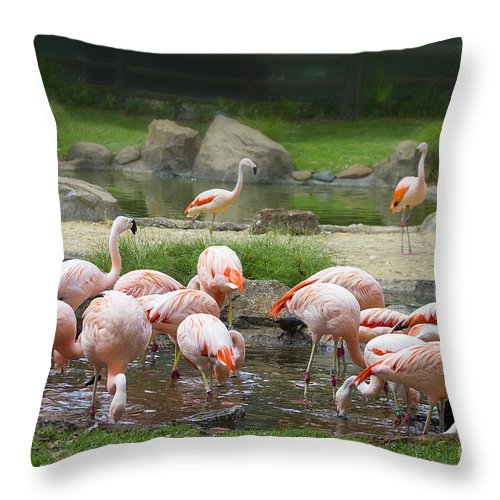 Chilean Flamingo Throw Pillow featuring the photograph Feeding Frenzy by TN Fairey