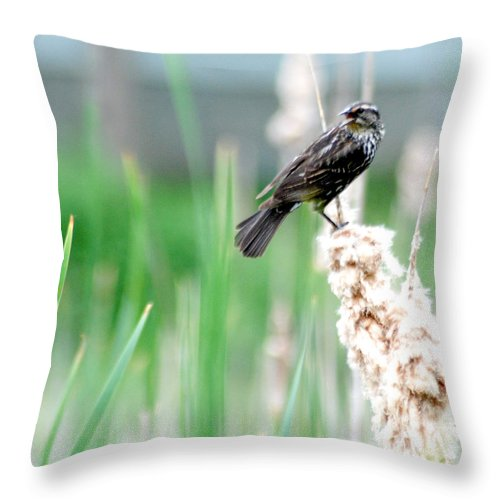 Female Red Winged Black Bird Throw Pillow featuring the photograph Female Red Winged Black Bird by Optical Playground By MP Ray