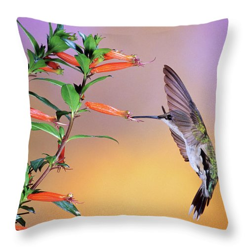 Photography Throw Pillow featuring the photograph Female Ruby-throated Hummingbird by Animal Images