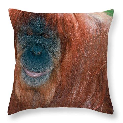 Sumatran Orangutan Throw Pillow featuring the photograph Female Sumatran Orangutan by Connie Bransilver