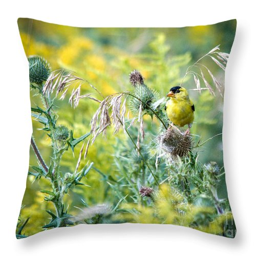 Finch Throw Pillow featuring the photograph Find The Finch by Cheryl Baxter